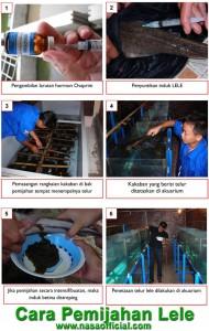 Pemijahan Lele - budidaya ikan lele