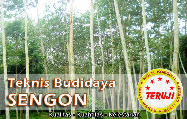 pohon sengon, pohon jabon, harga kayu, kayu sengon, kayu jabon, sengon solomon, harga kayu sengon, budidaya sengon